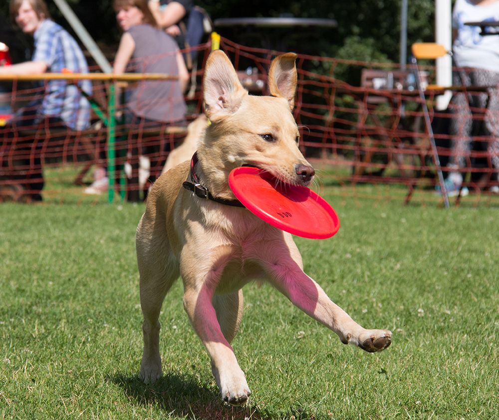 Junge Hunde brauchen Erfolge, keine Strafen. Labradoodle Cookie, Foto von Lara