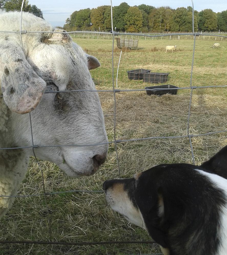 Die Schafe freuen sich auch immer über die kleine Lara.