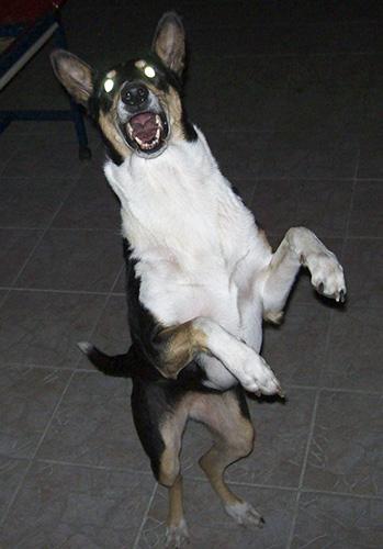 Kein Kampfhund: Die Laus