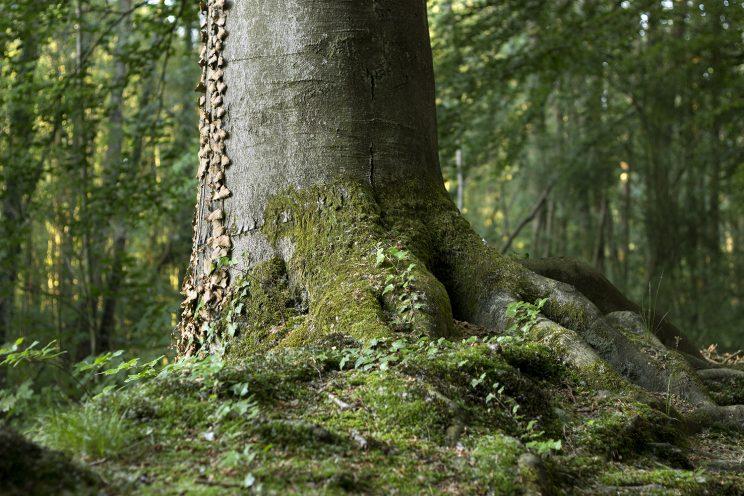 graubaum